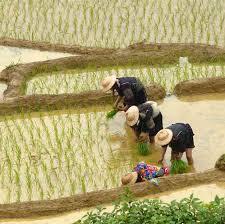Cultivo tradicional del arroz.